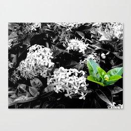 Ixoras in Black & White Canvas Print