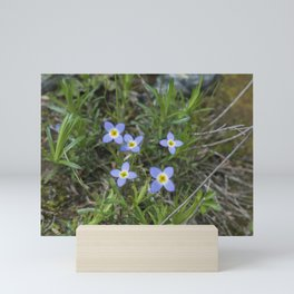 Thyme Leaved Bluets Mini Art Print
