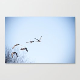 Ducks in Flight Canvas Print
