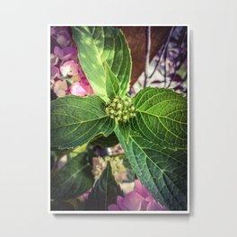 Hydrangea Bud Metal Print
