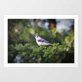 Adult Bluejay Bird Color Photo Art Print