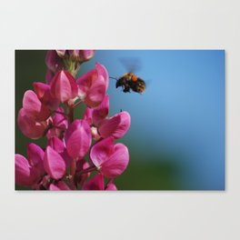 Lupin to the bee Canvas Print