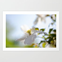 Closeup of White Montana Flower Art Print