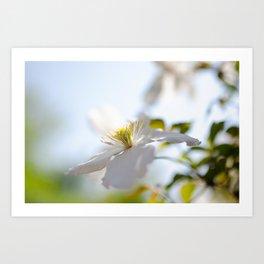 Closeup of White Montana Flower Art Print