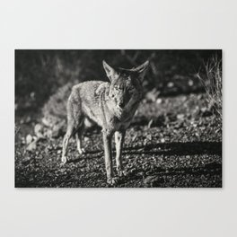 Coyote in Black and White Canvas Print
