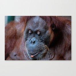 Portrait of a female orangutan Canvas Print