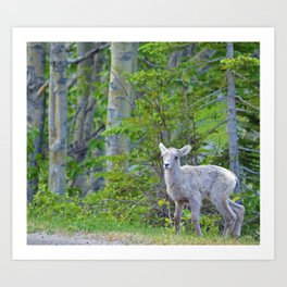 Big horn sheep lamb in Jasper National Park Art Print