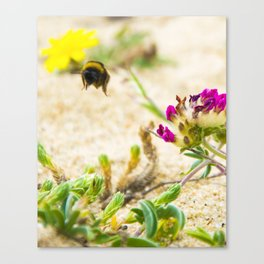 the flight of bumble bee on the bunes Canvas Print