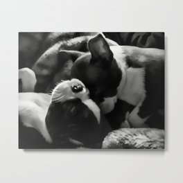Sleeping Beauties - Boston Terrier Metal Print