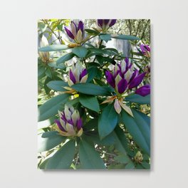 Rhododendrons Ready to Bloom Metal Print
