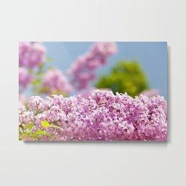 Lilac vibrant pink flowers shrub Metal Print