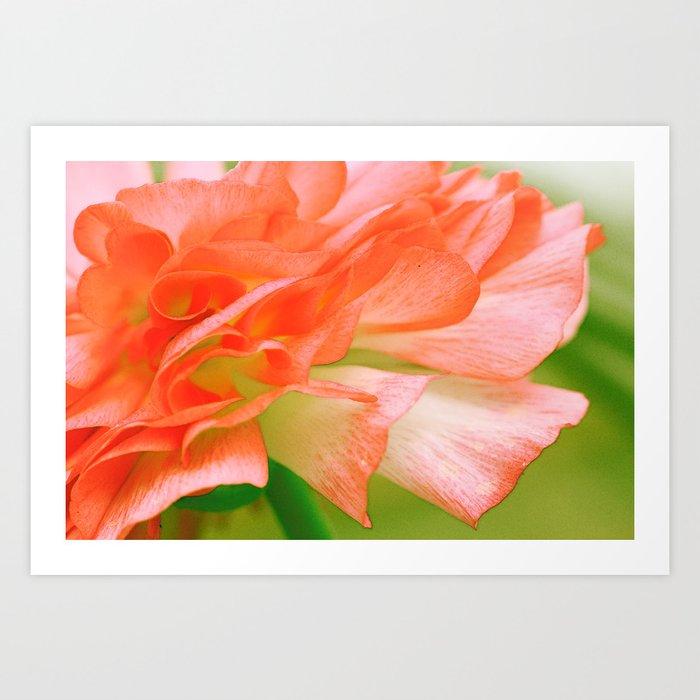 Vintage Ranunculus (6) Art Print