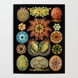 Ernst Haeckel - Scientific Illustration - Ascidiae Poster