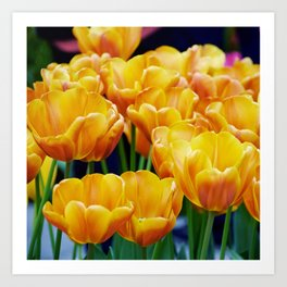 Yellow Orange Tulips Art Print