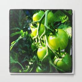 Green Tomatoes Metal Print