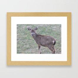 Young Columbian Black-Tailed Deer 8 Framed Art Print