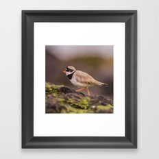 The little Ringed Plover Framed Art Print