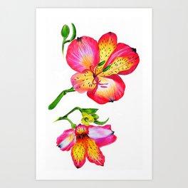 Botanical Illustration Alstroemeria Art Print