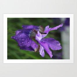 Iris so pretty Art Print