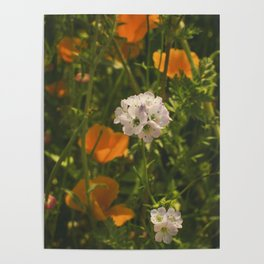 California Poppies 010 Poster