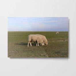 Grasende Schafe auf Nordseeinsel Pellworm / Grazing Sheep on green Field Metal Print