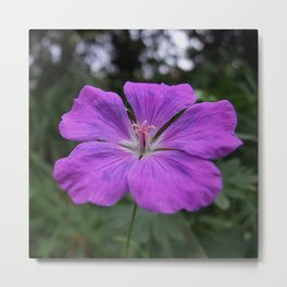 Violet Viola Flower With Garden Background  Metal Print