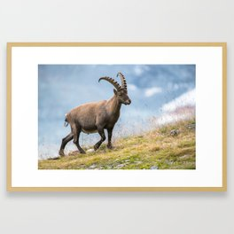 Male alpine ibex (lat. Capra ibex) above Saas Fee, Switzerland Framed Art Print