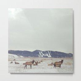 Herd of Elk in Jackson, Wyoming - Wildlife Photograph Metal Print