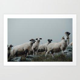 transylvanian sheep Art Print