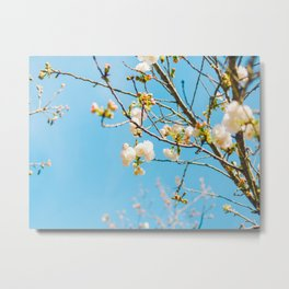White Blossoms In Spring Against Blue Sky Metal Print