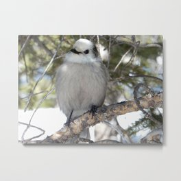 Gray Jay in Rocky Mountain Metal Print