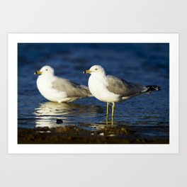 California Seagull Art Print
