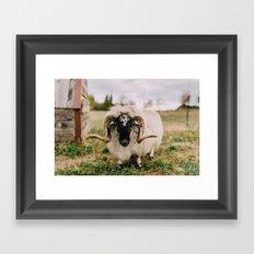 The Curious Sheep Framed Art Print