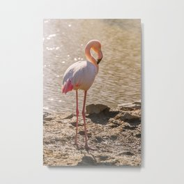 Pink Flamingo, Greater flamingo in their natural environment (Phoenicopterus roseus) Metal Print