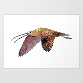 Long-billed Curlew Art Print