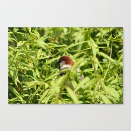 House Sparrow in a Tree Canvas Print