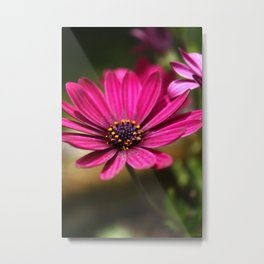 pink cape daisy Metal Print