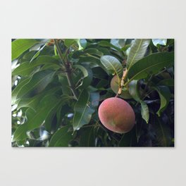 Mango Tree Canvas Print