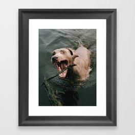 Water Weimaraner Framed Art Print