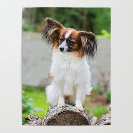 Outdoor portrait of a papillon purebreed dog Poster
