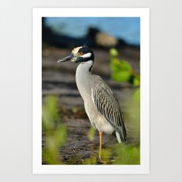 Yellow Crown Night Heron Art Print