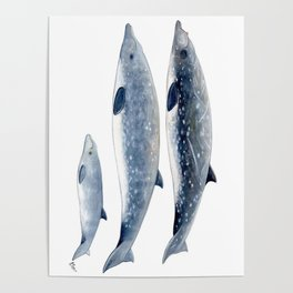 Blainville´s beaked whale Poster