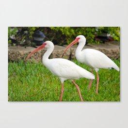 White Florida Ibis Canvas Print