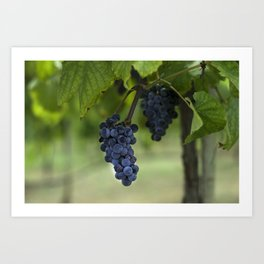 Cluster of purple grapes hanging under grapevine in vineyard Art Print
