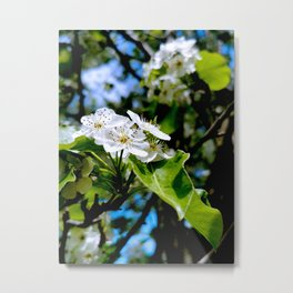 White Apple Blossom Metal Print