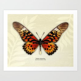 Butterfly14_Papilio Antimachus • male1 Art Print