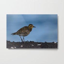 Pacific Golden Plover Metal Print