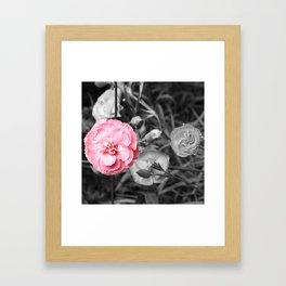 Single Pink Carnation Framed Art Print