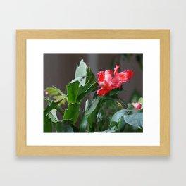 Christmas Cactus Bloom Framed Art Print
