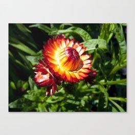 Helichrysum The Everlasting strawflower Canvas Print